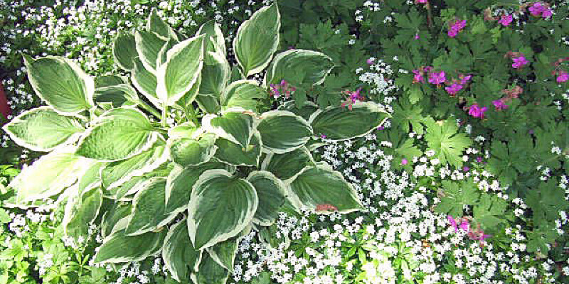 Are Poppy Flowers Perennials?