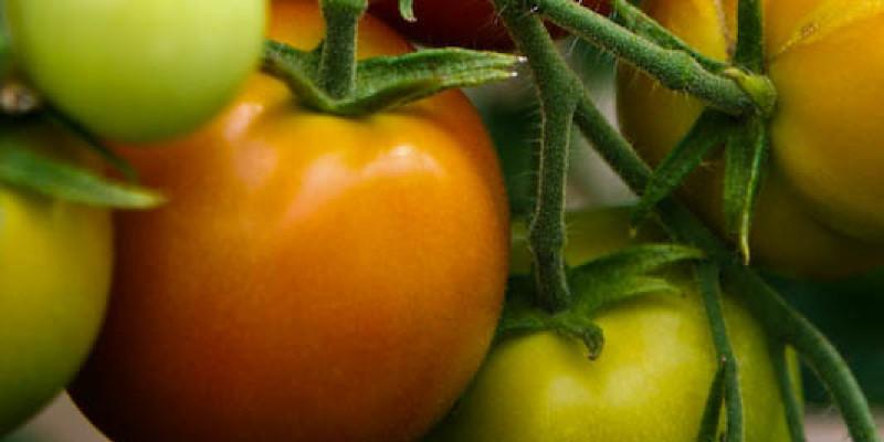 How Many Cherry Tomato Plants Per Hanging Planter?